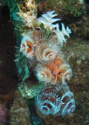 Colorful Christmastree worms at Caracasbai site, Curacao by Jon Doud 